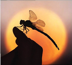 dragonfly and a sunset